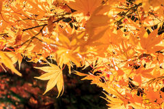 Yellow maple autumn fall,japan. Stock Images
