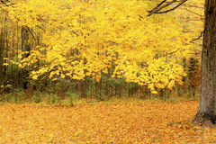 Yellow maple in autumn forest Stock Images
