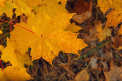 Yellow maple autumn leaf Royalty Free Stock Photography