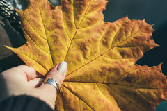 Yellow maple autumn leaf. Woman 's hand holding yellow maple autumn leaf Royalty Free Stock Photo