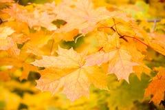 Yellow maple autumn leaves Stock Photos