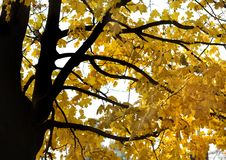 Yellow maple autumn leaves. And black branches Royalty Free Stock Images