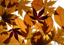 Yellow Maple and Beech Leaves Texture Stock Images