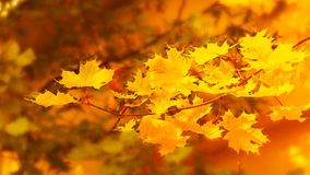 Yellow maple branch on fall background Royalty Free Stock Photo