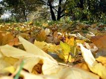 Yellow maple carpet Stock Photography