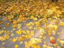 Yellow maple carpet on asphalt. At autumn Stock Photo