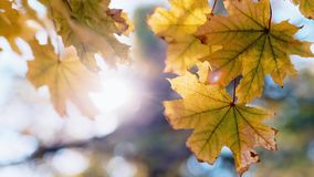 Yellow maple casting waving against the sky and sun. HD video stock video footage