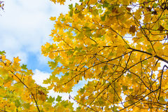 Yellow maple. Cloudy sky seen through yellow mapple leafs Stock Images
