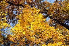 Yellow maple Stock Photo
