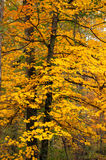 Yellow maple Royalty Free Stock Photography