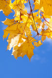 Yellow maple foliage on brunch on blue sky Royalty Free Stock Images