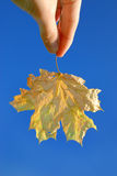 Yellow maple leaf Royalty Free Stock Photography