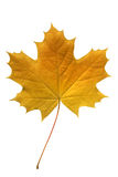 Yellow maple leaf. Stock Images