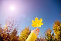 Yellow maple leaf Royalty Free Stock Images