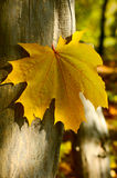 Yellow maple leaf. A big yellow maple leaf on a stem of tree Royalty Free Stock Images