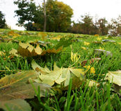 Yellow maple-leaf. A yellow maple-leaf lies yet on a green grass Stock Image