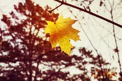 Yellow maple leaf as an Royalty Free Stock Photography