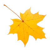 Yellow maple leaf as an autumn symbol. Royalty Free Stock Images