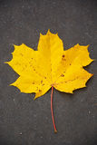 Yellow maple leaf Stock Image