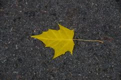 Yellow maple leaf on asphalt stock photo