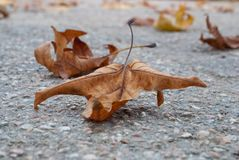 Yellow maple leaf on asphalt Royalty Free Stock Images