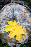 Yellow Maple Leaf in Autumn (Acer platanoides) Stock Photography