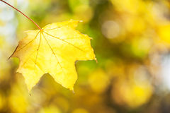 Yellow maple leaf. Royalty Free Stock Photography
