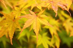 Yellow maple Stock Photography