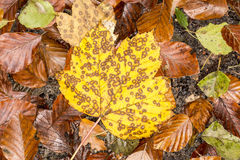 Yellow maple leaf in autumn, Germany Stock Image