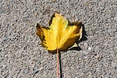 Yellow Maple Leaf. Autumn season At Vancouver, BC Canada Royalty Free Stock Photo