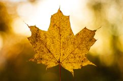 Yellow maple leaf in the autumn single isolated royalty free stock photography