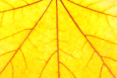 Yellow maple leaf background Royalty Free Stock Photo