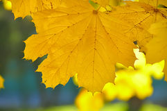 Yellow maple leaf on the background of autumn park. Garden. Warm sunlight. natural autumn background Royalty Free Stock Photography