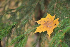 Yellow maple leaf on the background of fir branches. Lonely yellow maple leaves on green fir branches Royalty Free Stock Photo