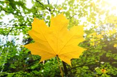 Yellow maple leaf on a background of green forest with sunlight. Yellow maple leaf on a background of green forest with sunlight Royalty Free Stock Photography