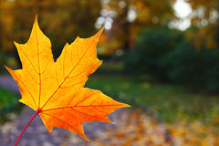 Yellow maple leaf Royalty Free Stock Photos