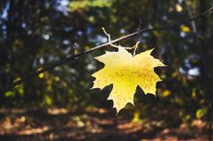 Yellow maple leaf on a background of trees in the Park. The autumn theme. Yellow maple leaf as an autumn symbol Royalty Free Stock Image