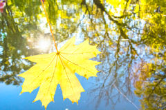 Yellow maple leaf on a background of water reflections of autumn Royalty Free Stock Photo