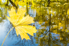 Yellow maple leaf on a background of water reflections of autumn. Yellow maple leaf on the background of the reflection in the water of autumn trees and blue sky Stock Photo