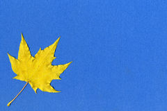 Yellow maple leaf on blue paper Royalty Free Stock Image