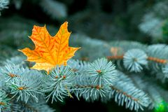 Yellow maple leaf in the branches of blue spruce. Close-up royalty free stock photo