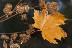 Yellow Maple Leaf and Burdock Burrs, Autumn Stock Image