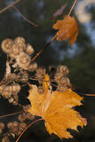 Yellow Maple Leaf and Burdock Burrs, Autumn Stock Images