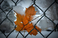 Yellow Maple Leaf, Chain Link Fence, Snow Stock Photography