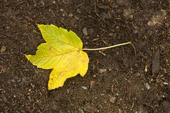 Yellow maple leaf Royalty Free Stock Photo