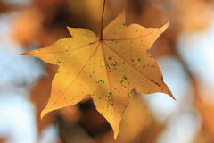 Yellow maple leaf closeup Royalty Free Stock Images