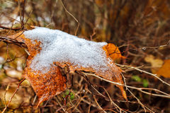 Yellow maple leaf covered with snow Royalty Free Stock Photo