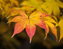 Yellow maple leaf in fall Stock Images