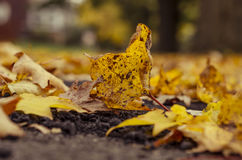A yellow maple leaf fallen on ground Stock Image