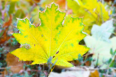 Yellow maple leaf falling to ground, background in autumn colors Royalty Free Stock Images